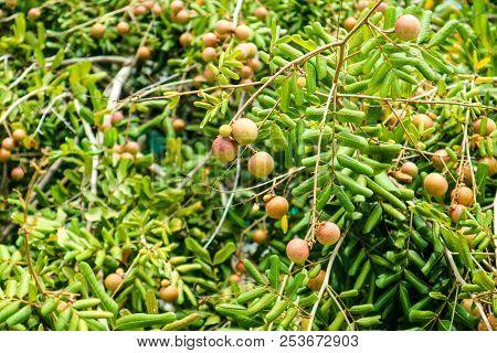 Fresh Longan On Tree In The Garden Green Leaves
