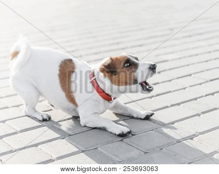 A Small Dog Jack Russell Terrier In Red Collar Running, Jumping, Playing And Barking On Gray Sidewal