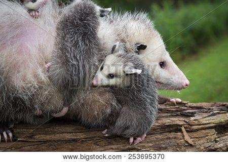 Opossum Joey (didelphimorphia) Curls Up Next To Mother - Captive Animals
