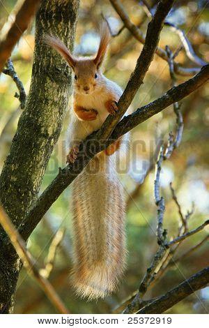 Big ears, bushy tail