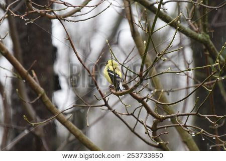 American Goldfinch Chordata Black And Yellow Perched On A Tree Branch Limb