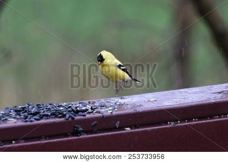 American Goldfinch Chordata Black And Yellow Hoping On A Back Porch Deck