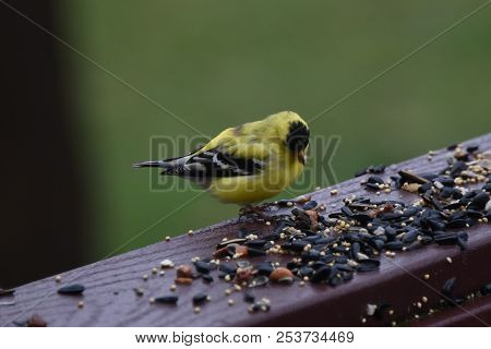 American Goldfinch Chordata Black And Yellow Eating Birdseed Sunflower Seed In A Back Porch Deck