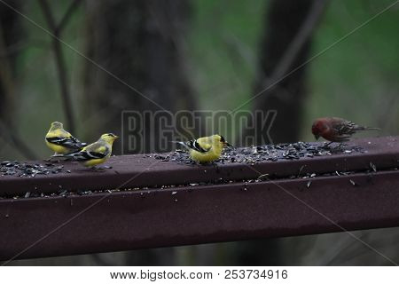 A Flock Of House Finches And Goldfinches Eating Eating Birdseed On A Backyard Deck Porch