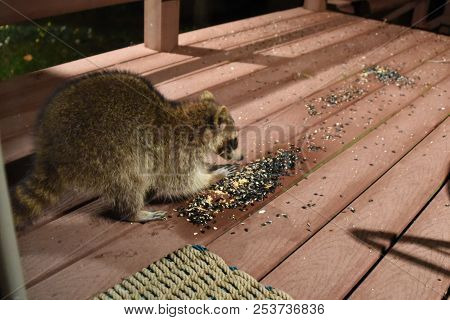 Raccoon Procyon Lotor Eating Birdseed Sunflower Seed Using Front Paws On Back Porch Deck Wild Animal
