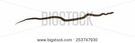 Steppe ratsnake Elaphe dione (Dione snake) isolated on white background