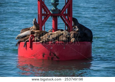 Sea Lions Squeezed Into Full Capacity On The Dry Surface Of The Floating Offshore Buoy.