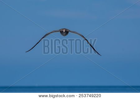 Aerodynamic Seagull Approaching With Wings Spread Wide And Level To The Horizon.