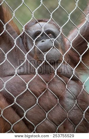 An Orangutan Hanging On A Chain-link Fence Looking Down.
