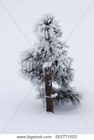 Winter Nature, Snowy Lonely Small Fir Tree