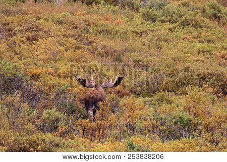 An Alaska-yukon Bull Moose In Velvet In Denali National Park In Fall