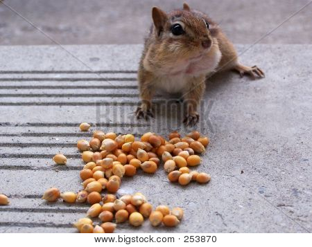 chipmunk filling cheeks with dried corn poster