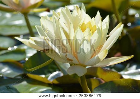 A water lily blooming on the pond