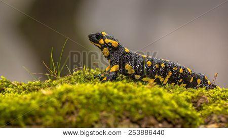Fire Salamander (salamandra Salamandra)  Is Possibly The Best-known Salamander Species In Europe. An