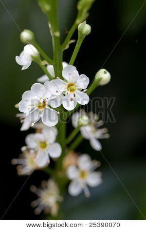 Blooming Cherry Laurel (lat. Prunus laurocerasus Schipkaensis Macropylla) poster