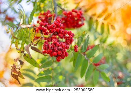 Red Mountain Ash On A Branch, Macro Photo With Selective Focus.autumnal Colorful Red Rowan Branch.re