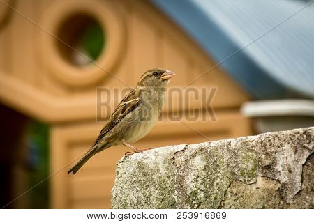 Female House Sparrow Perched On Rock Wall With Shed In Background
