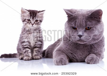 Two Curious British Cats Looking Down