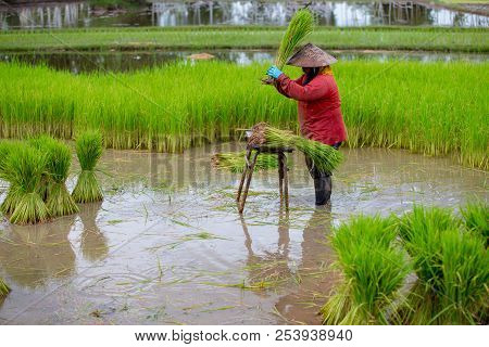 Thailand The Farmer Working In Rice Field And Harvest Green Seeding.