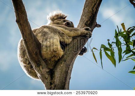 Koala Stuck On The Fork Of A Tree, Backlit With A Blue Sky