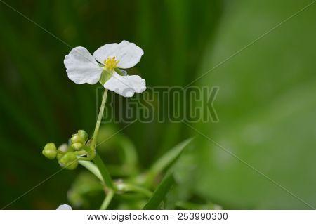 Bulltongue Arrowhead Flower, Sagittaria Sp., Central Of Thailand