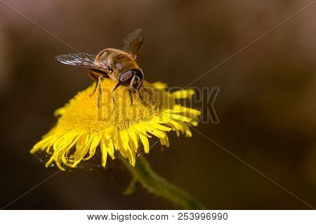 Working Bee Looks For Nectar Over A Yellow Chamomile Flower In Spring.