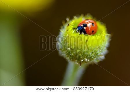 Ladybird On A Camomile. Garden, Chamomile. The Insect Resting Inside The Corolla Of The Flower.