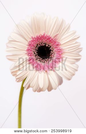 Portrait Of Pastel Rosa Gerbera Flower On The White Background. Macro Photography Of Nature.