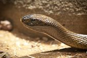 An Inland Taipain, the most poisonous snake in the world, stretches out under a sunlamp poster
