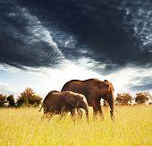 Elephants in african savannah poster