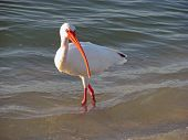 white ibis in Florida shallow ocean waters poster