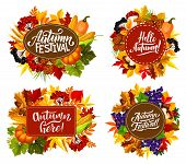 Fall fest or autumn festival posters with seasonal holiday quotes. Vector pumpkin and corn harvest with mushrooms and berries in autumn maple leaf foliage and oak acorns for Thanksgiving holiday poster
