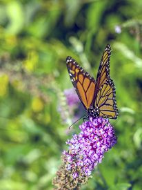 Monarch Butterfly (danaus Plexippus) Is A Milkweed Butterfly (subfamily Danainae) In The Family Nymp