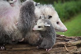 Opossum Joey (didelphimorphia) Curls Up Next To Mother - Captive Animals