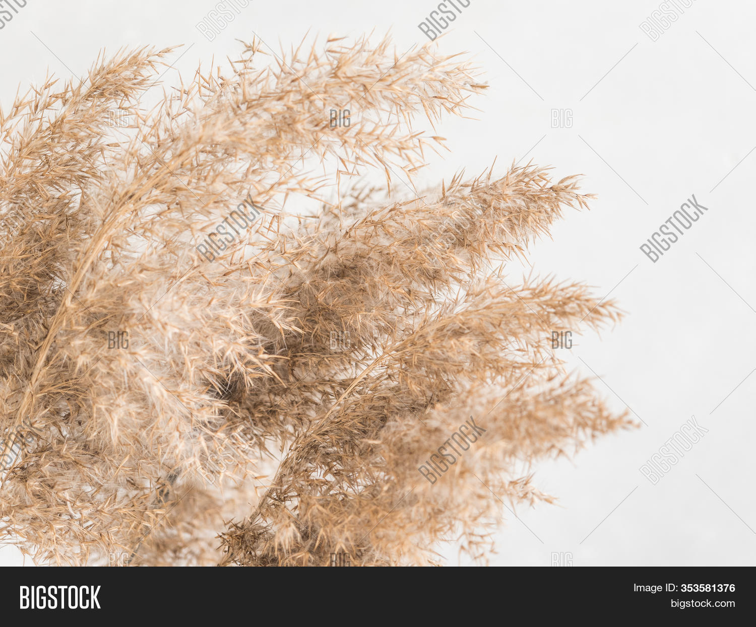 Dry Beige Reed On Image Photo Free Trial Bigstock