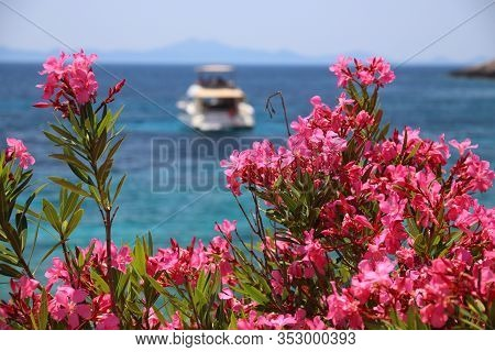 Oleander Flowers In Croatia. Pupnatska Luka Beach In Korcula Island.