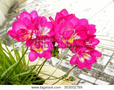 Colorful Alstroemeria Flowers. Bright Moths Of Alstroemeria. A Favorite Of Florists, An Indispensabl