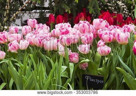 Tulipa Of The Foxtrot Species In A Greenhouse. Translation Of The Word On Nameplate: