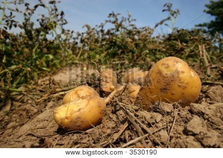 Fresh Potatoes On A Field