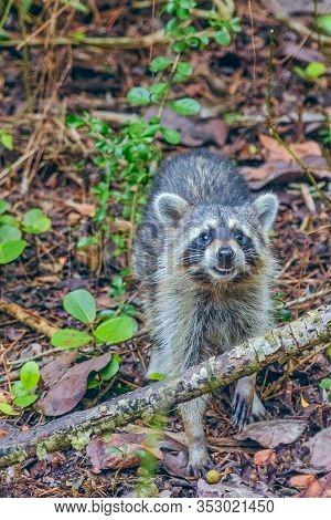 Close Up Portrait Of Raccoon (procyon Lotor) In J.n. Ding Darling National Wildlife Refuge. Sanibel
