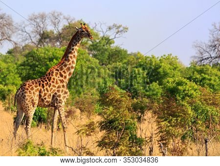 Adult Giraffe (giraffa Camelopardalis), Standing In The Lush Green Bush Covered Savannah With A Pale