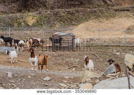 Small Herd Of Goats