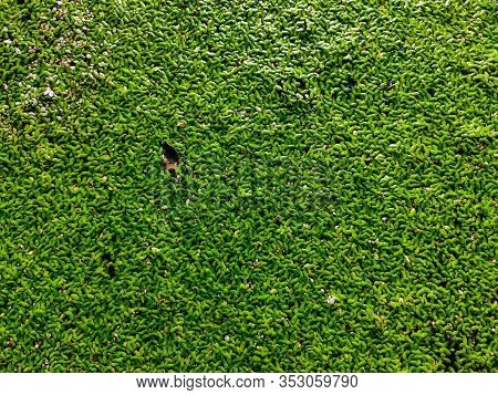 Lemna Minor, The Common Duckweed Or Lesser Duckweed, Is An Aquatic Freshwater Plant Of The Genus Lem