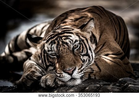 Ranthambore Wild Male Tiger Fine Art Image Portrait Of Wild Male Bengal Tiger Extreme Close Up With