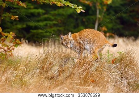 The Eurasian Lynx (lynx Lynx) A Young Lynx In Yellow Grass, Autumn Forest Background.