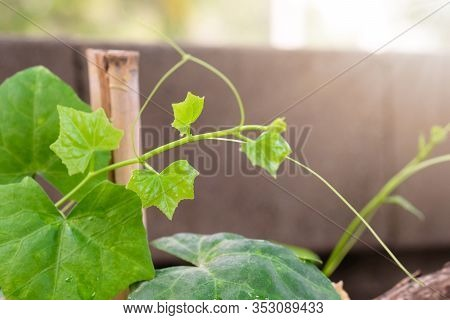 Beautiful Top Gourd, Ivy Gourd On Nature Wall, Natural Vegetables.