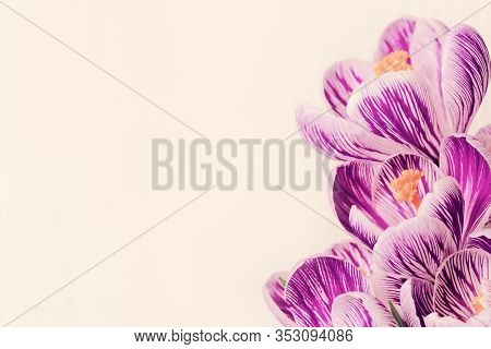 Spring Delicate Petals Of Crocus Flowers Lilac Colored. Natural Flowery Background With Copy Space.