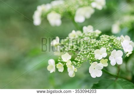 Beautiful Viburnum Blossom. Spring Time In Nature, Flowery Blurred Background With Copy Space. Flowe