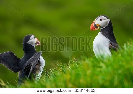 Puffin Flirting And Flapping Wings Near Other One In The Hillside