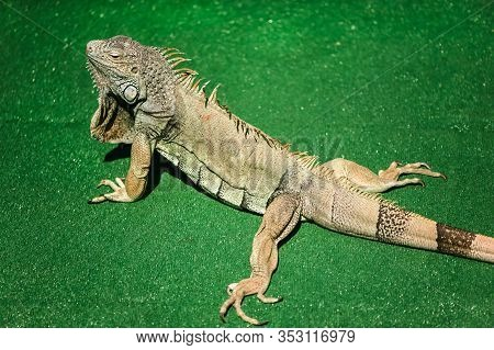 A Male Green Iguana Or American Iguana With Spines And Dewlap A Large Neck Bag